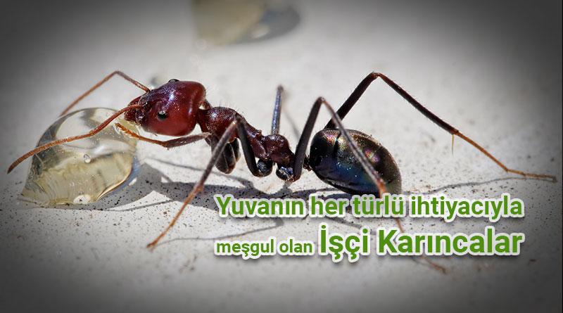işçi karıncalar