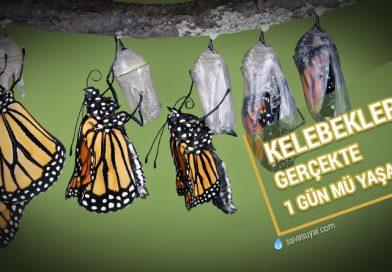 Kelebekler 24 saat mi yaşar? Bu bir efsane midir?