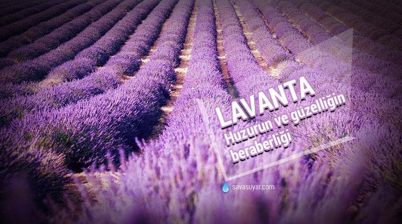 Lavanta: Uykusuzluk, Depresyon, Ağrı ve Yaranın Devası